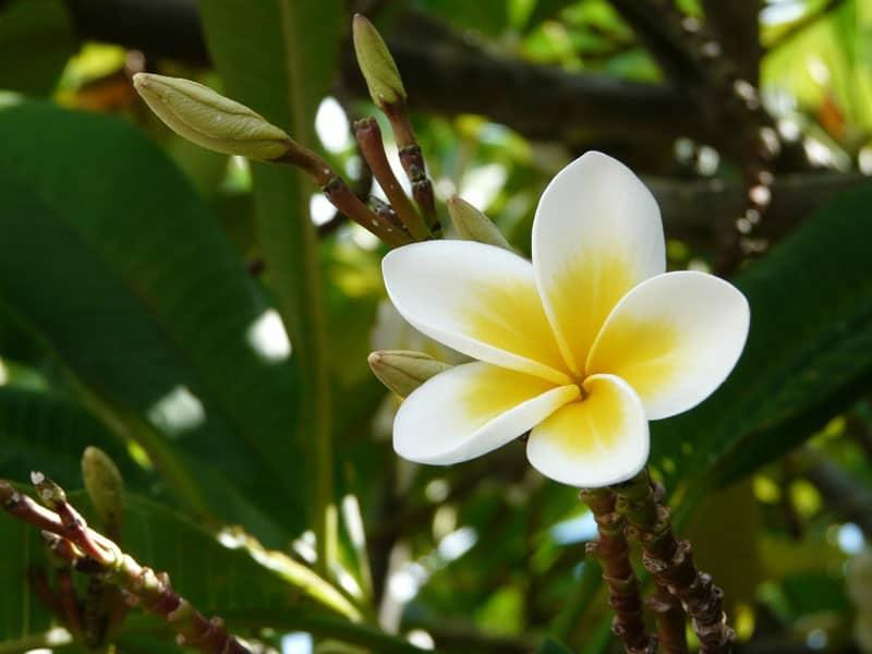 Những loài hoa tỏa hương thơm – Hoa sứ