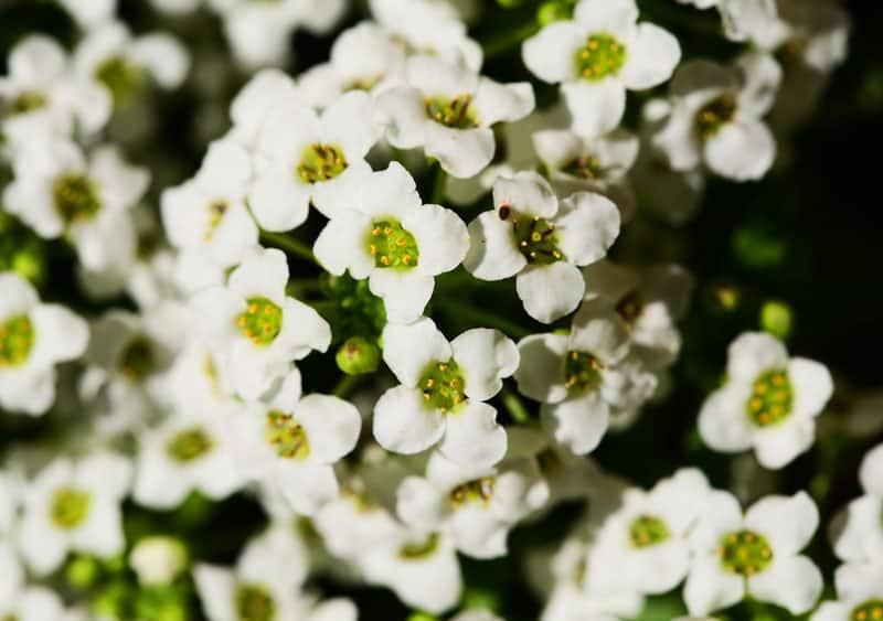 Những loài hoa tỏa hương thơm – Hoa tuyết cầu