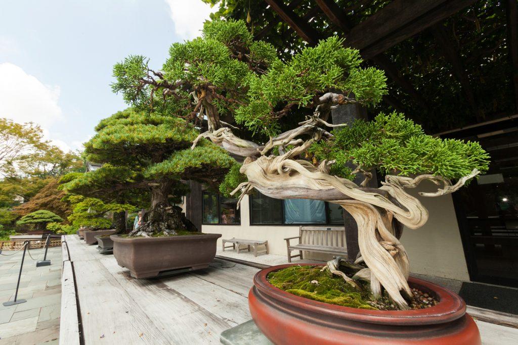 Những thế cây bonsai đẹp – Long cuốn thủy