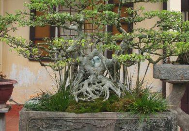 Những thế cây bonsai đẹp, mang ý nghĩa phong thủy tốt – Thế lưỡng long tranh châu