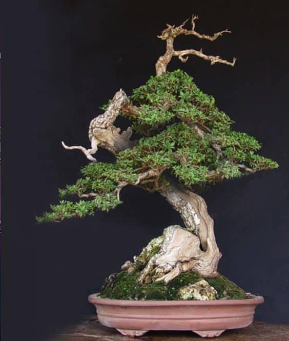 Những thế cây bonsai đẹp, mang ý nghĩa phong thủy tốt – Thế long thăng