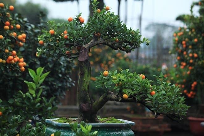 Những thế cây quất siêu đẹp 19