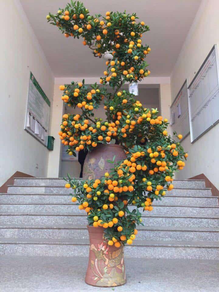 Những thế cây quất siêu đẹp 2
