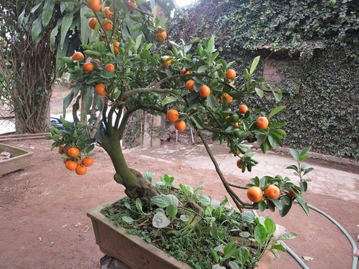 Những thế cây quất siêu đẹp 25