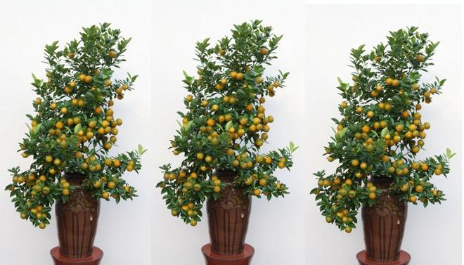 Những thế cây quất siêu đẹp 3