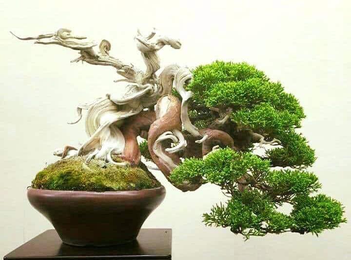 Kết quả hình ảnh cho bonsai