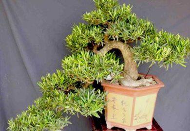 các thế tùng bonsai đẹp 32