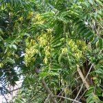 nguồn gốc và đặc điểm cây ngọc lan tây