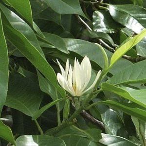 cây ngọc lan ta