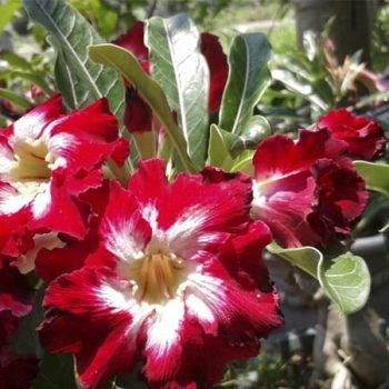 cây sứ thái