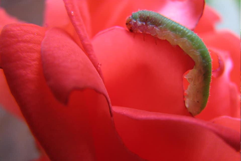 Sâu ăn lá cây hoa hồng