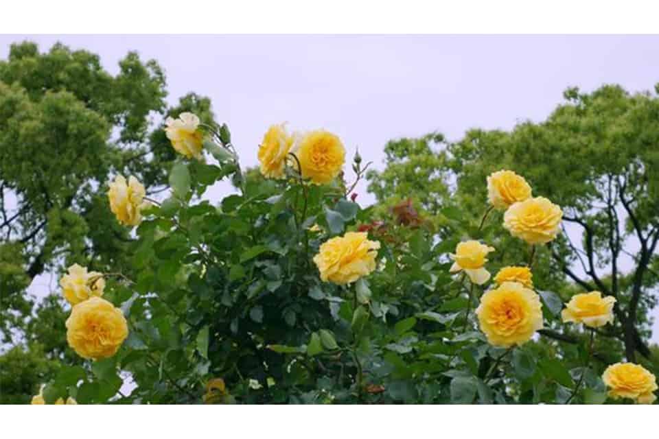 bệnh thối rễ hoa hồng 1