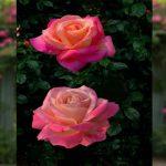 sâu bệnh hại hoa hồng