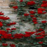 làm thế nào để hoa hồng ra nhiều nhánh