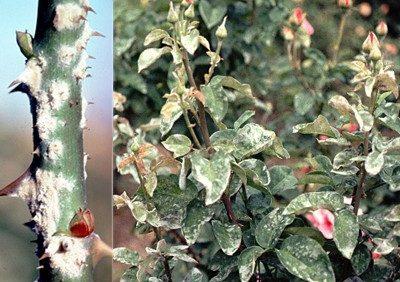Hoa hồng bị bệnh phấn trắng