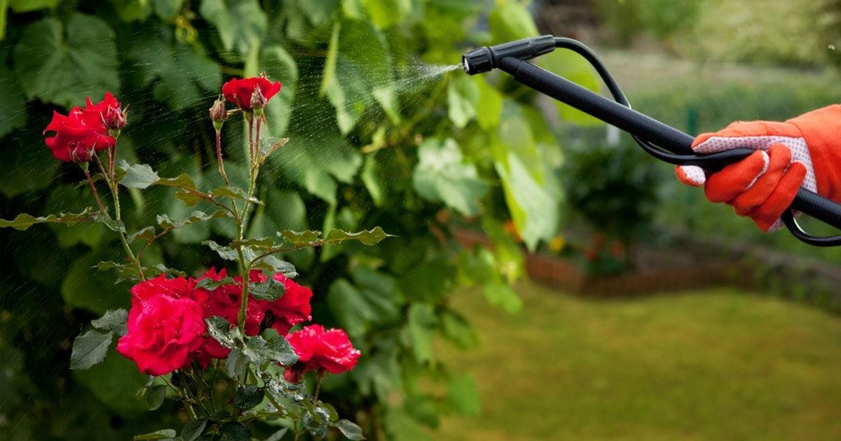 phun thuốc bảo vệ cho hoa hồng
