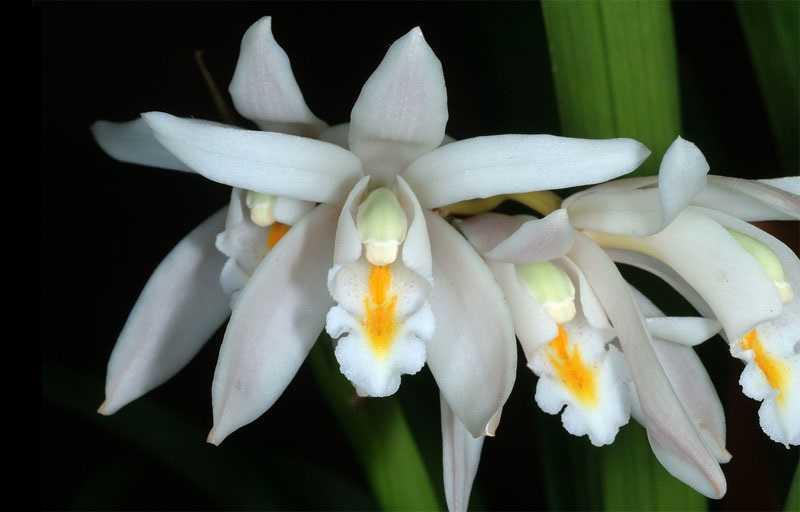 30 loại hoa lan rừng đẹp và quý hiếm nhất Việt Nam Lan thanh đạm
