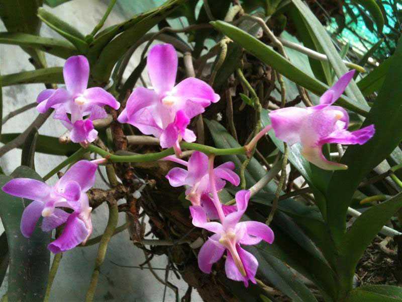30 loại hoa lan rừng đẹp và quý hiếm nhất Việt Nam lan giáng hương hồng nhạn