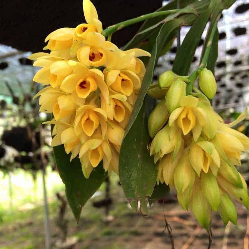30 loại hoa lan rừng đẹp và quý hiếm nhất Việt Nam lan kiều dẹt 1