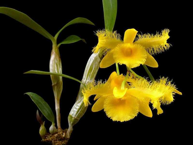 30 loại hoa lan rừng đẹp và quý hiếm nhất Việt Nam lan kiều dẹt