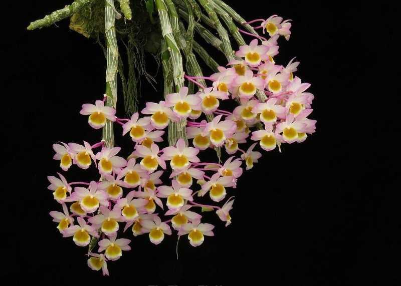 30 loại hoa lan rừng đẹp và quý hiếm nhất Việt Nam lan trầm vàng