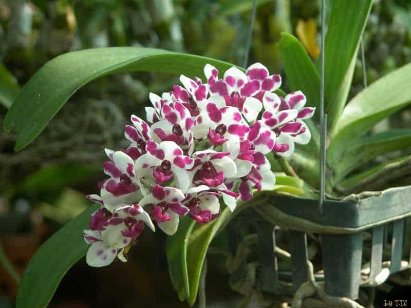 30 loại hoa lan rừng đẹp và quý hiếm nhất Việt Nam lan ngọc điểm 1