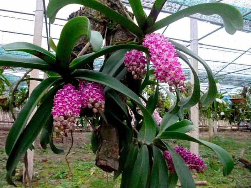30 loại hoa lan rừng đẹp và quý hiếm nhất Việt Nam lan ngọc điểm
