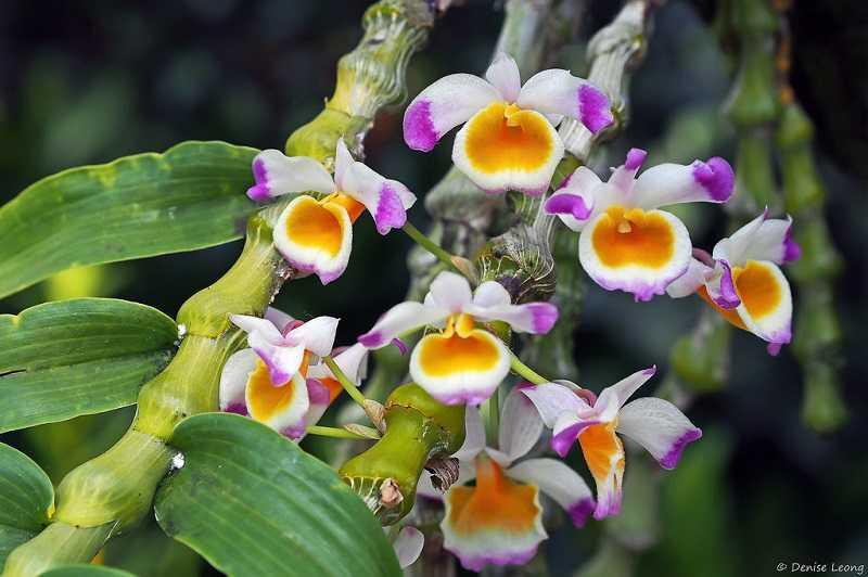 30 loại hoa lan rừng đẹp và quý hiếm nhất Việt Nam lan trúc phật bà