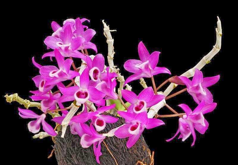 30 loại hoa lan rừng đẹp và quý hiếm nhất Việt Nam lan trầm tím