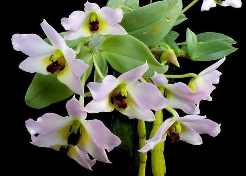 30 loại hoa lan rừng đẹp và quý hiếm nhất Việt Nam lan trần tuấn
