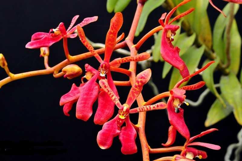 30 loại hoa lan rừng đẹp và quý hiếm nhất Việt Nam lan tuyết nhung