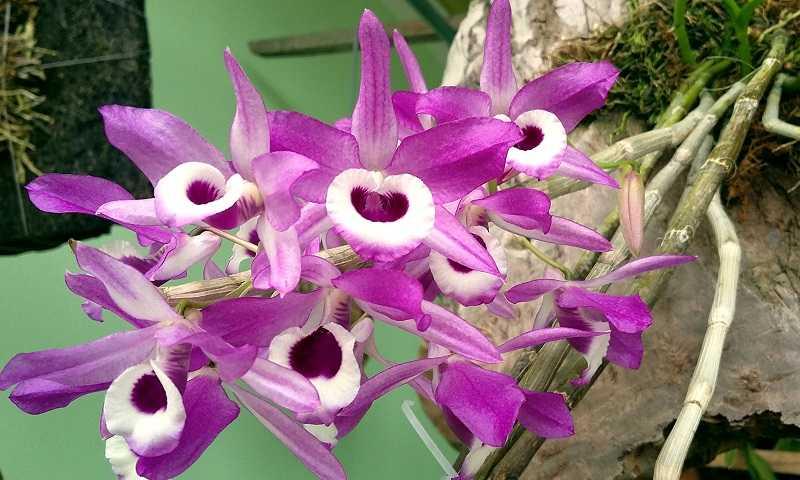 30 loại hoa lan rừng đẹp và quý hiếm nhất Việt Nam lan thảo kèn