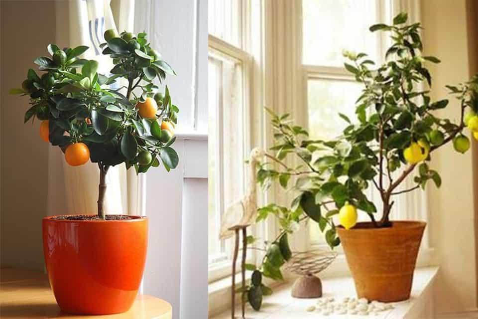 Chậu trồng cây ăn quả 1