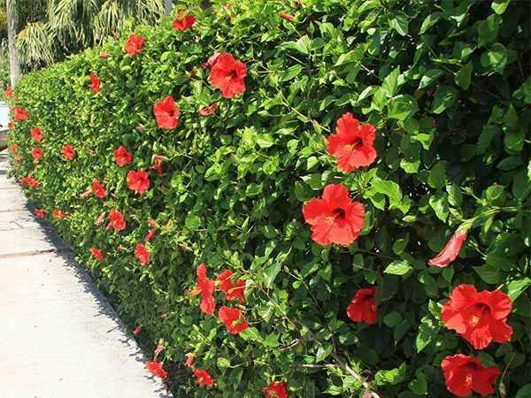 Hoa trồng hàng rào đẹp và dễ chăm sóc - Hoa dâm bụt