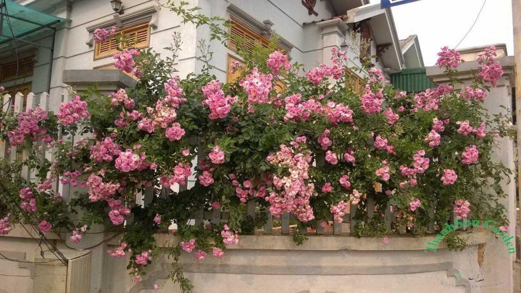 Hoa trồng hàng rào đẹp và dễ chăm sóc - Hoa giấy 1