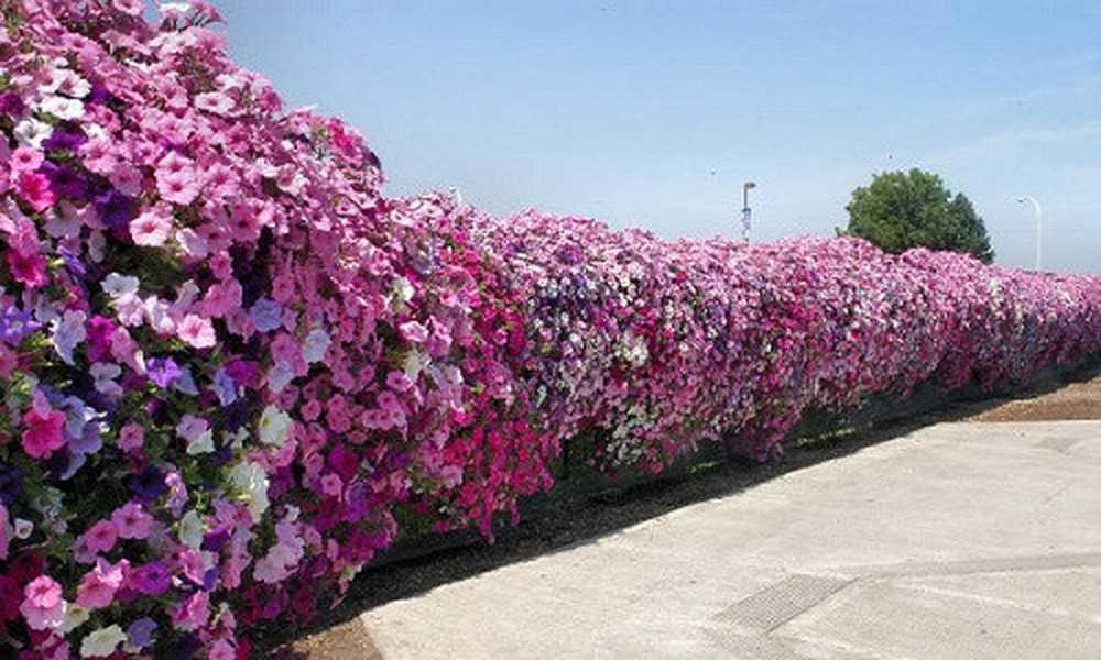 Hoa trồng hàng rào đẹp và dễ chăm sóc - Hoa giấy