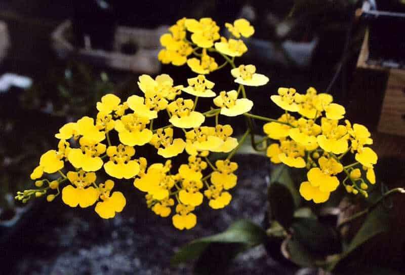 Những loại hoa phong lan dễ chăm sóc - Lan vũ nữ