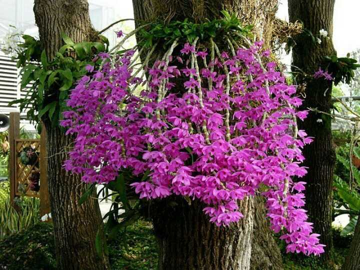 Những loại hoa phong lan dễ chăm sóc cho người mới- Hoa lan phi điệp tím