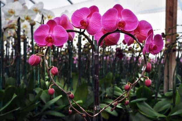 Những loại hoa phong lan dễ chăm sóc cho người mới bắt đầu - Hoa lan hồ điệp