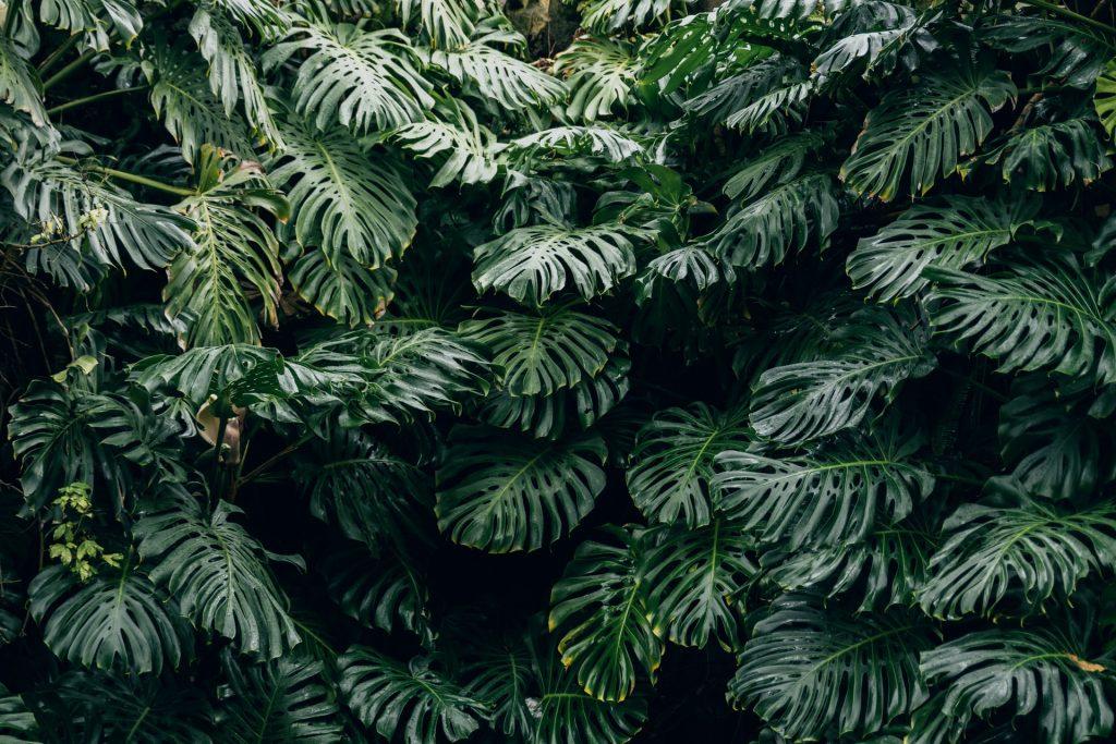 cây trầu bà lá xẻ nam mỹ