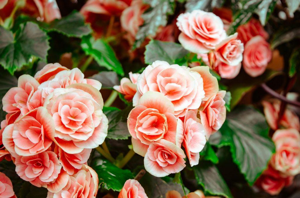 kỹ thuật chăm sóc cây hoa hồng