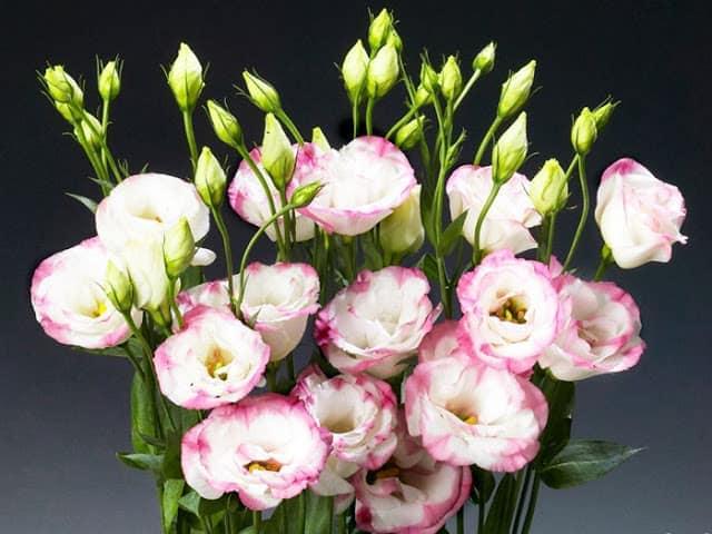 Các loại hoa tết dễ trồng - Hoa cát tường