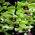 cách trồng các loại lan dendro