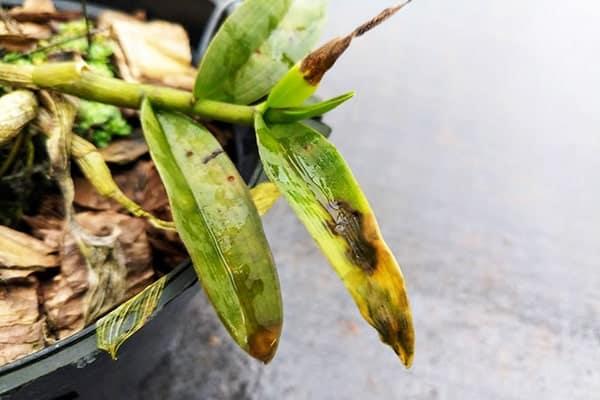 Bệnh thối nhũn trên hoa lan