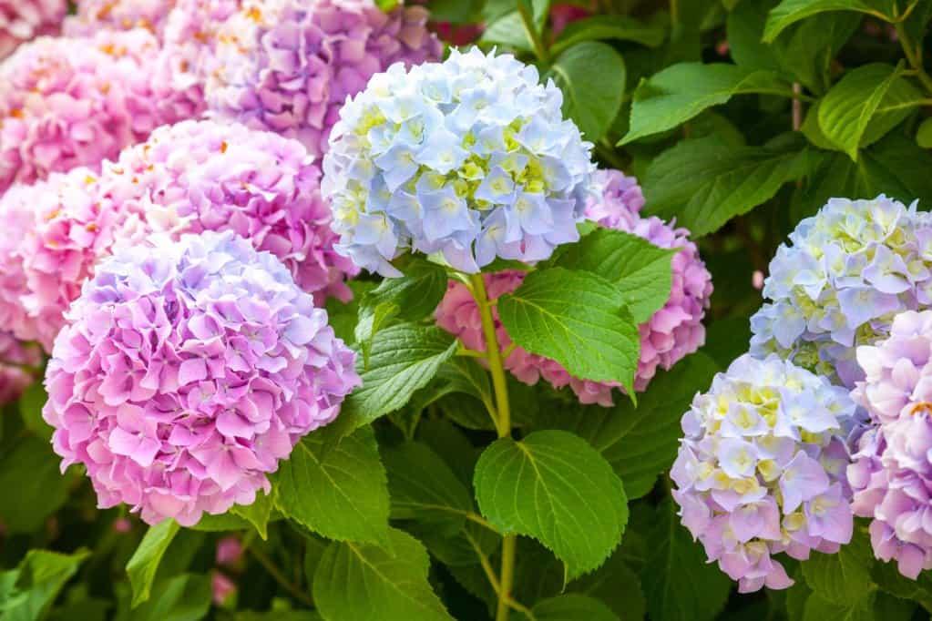 Chăm sóc hoa cẩm tú cầu