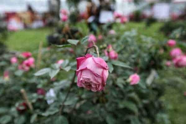 Hoa hồng bị héo ngọn