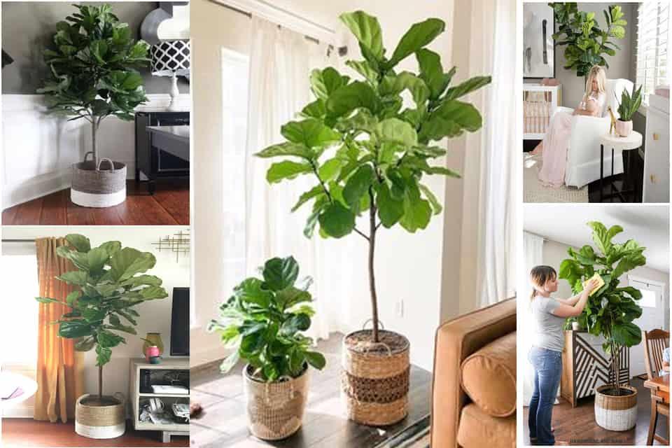 bàng singapore trồng trong nhà