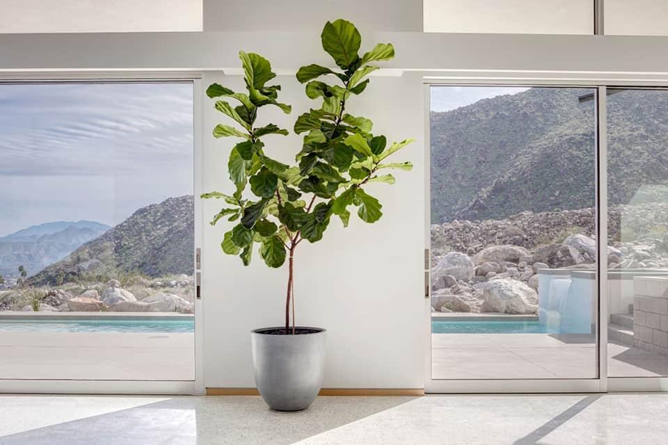 cây bàng singapore trong nhà