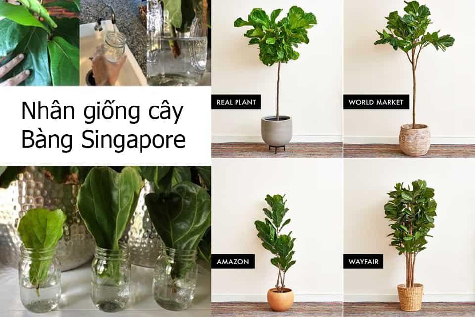 nhân giống cây bàng singapore