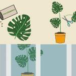 Cách trồng cây trầu bà lá xẻ